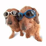 dogs wearing goggles